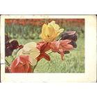 """""""Тюльпаны"""" - почтовая карточка СССР 1967 год, подписана"""