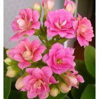 Каланхоэ Блоссфельда розовое