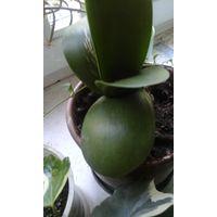 Гемантус цветок