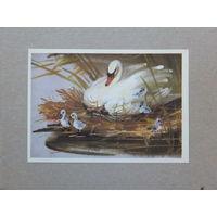 Каневский лебедь 1980 10х15 см