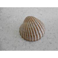 Створка моллюска, Северное море, о-в Зюльт, Германия