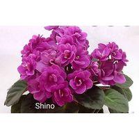 Фиалка Shino