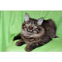 Котенок-подросток (7 месяцев, кастрирован) в дар