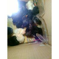 Цыплята от домашних кур