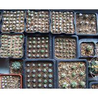 Сеянцы кактусов - астрофитумов