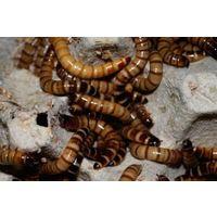Кормовые насекомые (тараканы, зоофобас)