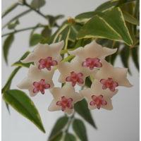 Хойя Hoya bella albomarginata