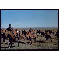Монголия Погонщики верблюдов