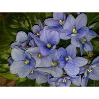 Фиалка темно-голубая с обильным и продолжительным цветением - свежесрезанный листок