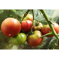 Семена томата Kozula 126 + Grand