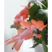 Шлюмбергера Schlumbergera Лососевые цветы