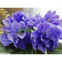 Фиалка ЛЕ Арамис, взрослое растение, цветет.