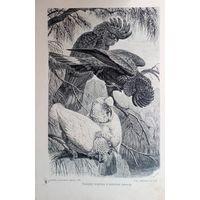 Какаду-вороны и Носатый какаду.Энциклопедическая гравюра Спб.