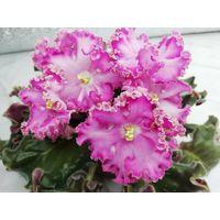 Фиалка Зазноба, взрослое растение, цветет