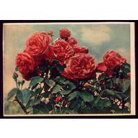 1957 год Розы