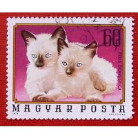 Венгрия. Кошки. ( 1 марка ) 1974 года.