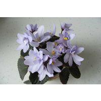 Фиалка Allegro Chicory Charm (св. лист) полумини
