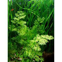 Аквариумные растения: Папоротник индийский