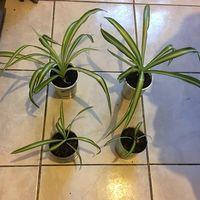 Хлорофитум вариегатный ( цены Разные , указаны на фото за одно растение)