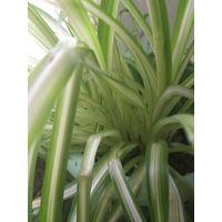 Растение Хлорофитум вариегатум