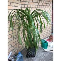 Винтовая пальма Пандаус пандан отросток укоренённый