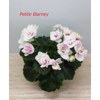 Фиалка Petite Blarney мини - св.лист