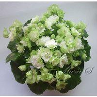 Фиалка Irish Flirt (растение с фото) полумини