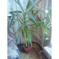 Пальма Юкка  и Драцена  (взрослые растения) В офис иди квартиру!