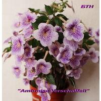 """Ахименес """"Ambroise Verschaffelt"""""""