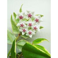 Хойя пестролистная Bella - молодое растение в стаканчике (фото в лоте)