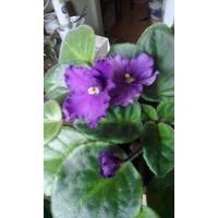 Фиалка взрослая цветущая