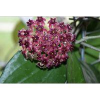 Хойя Hoya purpureo-fusca