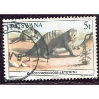 Ботсвана. Фауна. Полосатый мангуст