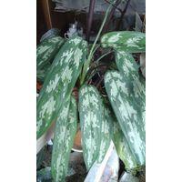 Растение декоративное