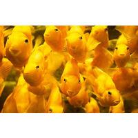 Попугай желтый