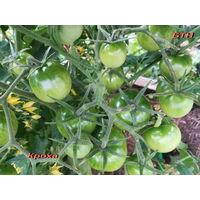 Семена томата Кроха