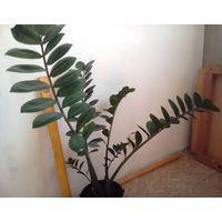 Замиокулькас, взрослый, лист 80 см.