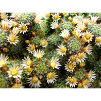 Маммиллярия кринита вильди (Mammillaria crinita ssp. Wildii)