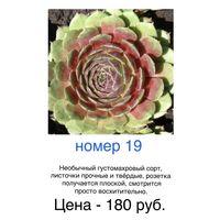 Каменные розы (молодила)