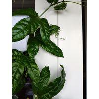 Маракуйя или пассифлора. Лиана. Молодое растение.