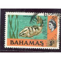 Багамские острова. Бурополосатый окунь