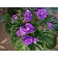 Фиалка темно-сиреневая, махровая, с обильным цветением - свежесрезанный листок