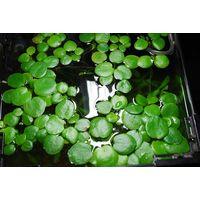 Аквариумные растения Лимнобиум