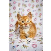 Милый бело-рыжий котенок в дар