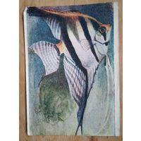 Ватагин В. Рыба-полумесяц. 1930-е. Подписана