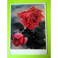 Открытка 1962г. Красные розы. ф. И. Шашна