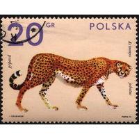 Кошки. Польша. 1972. Гепард. Марка из серии. Гаш.