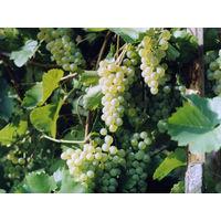 Саженцы винограда Довга