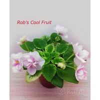 Фиалка мини Rob's Cool Fruit - крупный стартёр