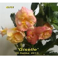 Ахименес 'Giselle' (S.Saliba, 2013)